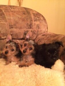 CHIOTS MORKIE A VENDRE
