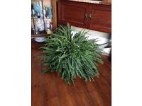 HUGE indoor fern plant - stunning, lots of new growth - houseplant