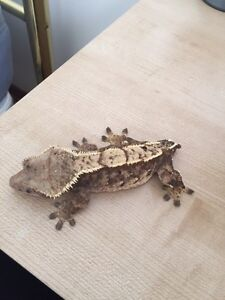 Adult Female Extreme Harlequin Pinstripe Crested Gecko London Ontario image 9