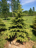 Mature Spruce Trees!