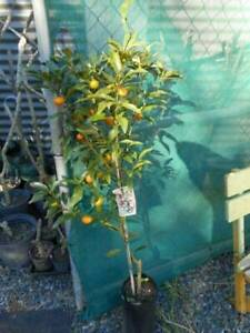 Citrus, grafted- Lemons, Limes, Oranges, Mandarins, Kumquats, Grapefr