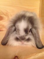 Mix of the lionhead and Mini lop baby bunnies