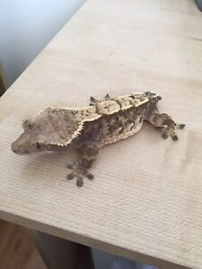 Adult Female Extreme Harlequin Pinstripe Crested Gecko London Ontario image 2