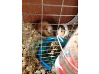 2 guinea pigs for sale