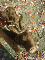 2 Beautiful Male Labs for Sales- Serious Inquiries Only