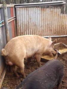 Pig for Sale. Large White Boar. Toodyay Toodyay Area Preview