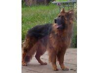 1year old german shepherd for sale