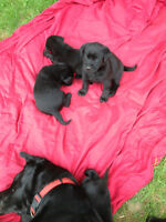 Purebred lab puppies for sale!!