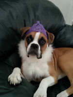 Beautiful 14 month old female Fawn Boxer