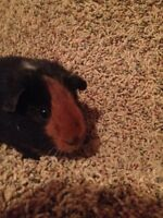 Guinea Pigs for Sale -