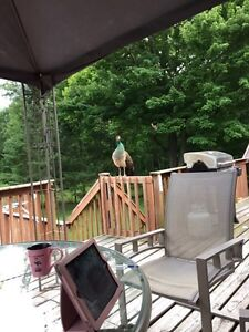 Blue India Peahen For Sale.