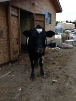 holstein cross cow for sale