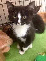 Tuxedo kitten needs a new loving home!