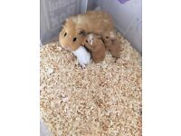 Pair of Male baby guinea pigs