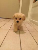 [eskipoo] American eskimo x cockapoo puppies for sale