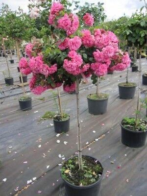 Stammrose Palmengarten Frankfurt® - Rosa Palmengarten Frankfurt®