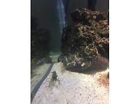 Marine glass shrimp saltwater