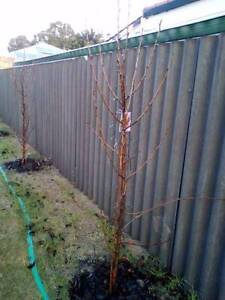 ornamental select pear x 10 Cannington Canning Area Preview