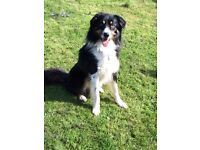 Border collie 5 year old