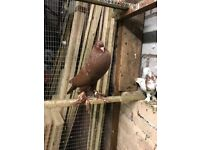 Red Pouter Pigeon For sale