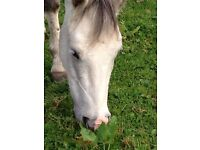 12 year old looking for a horse/pony to hold in ride outs