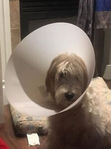 Cône post-chirurgical pour chien