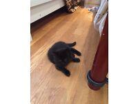 Two lovely, fluffy black male kittens