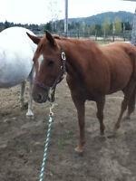 Jument Quater Horse enregistrée