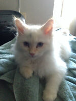 Pure bred Siberian, Flame point kitten for sale (male)