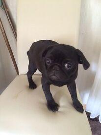 Full pedigree pug (black girl)