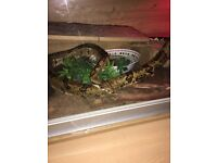 Snake with terrarium for sale