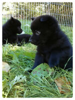 REGISTERED SCHIPPERKE PUPPIES