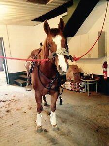 Cours ou Initiation à l'équitation Western à Calixa-Lavallée