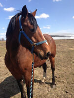 6 yr old mare REDUCED PRICE