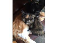 Long haired kittens £30