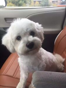 Pure Maltese & Bichon puppies! Avail after Dec 1st to new home! London Ontario image 5