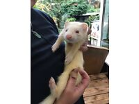 3 baby ferrets free to a good home