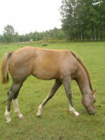 Reg. Grey Filly For Sale
