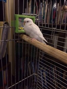 White budgie and cage