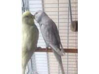 £40 two beautiful budgies for sale