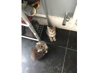 Tabby kittens for sale