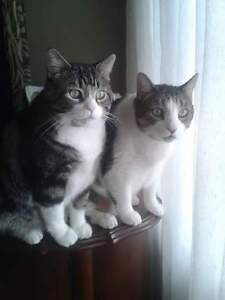 Good home required for two very large lovable cats