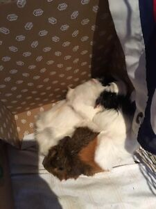 2 female guinea pigs for free