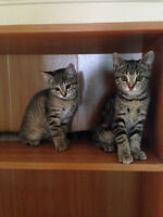 2 kittens for give away free, 11 weeks old