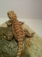 Baby bearded dragons for sale special colourations