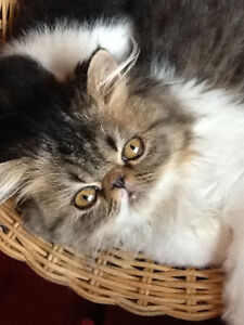 Pure bred exotic longhair available to loving pet home