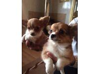 Chihuahua puppy girls