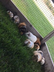 Lots of adorable guinea pigs!! babies too!!!
