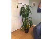 5ft6 Indoor Plant