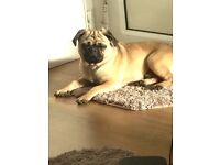 Pug for sale looking for good home